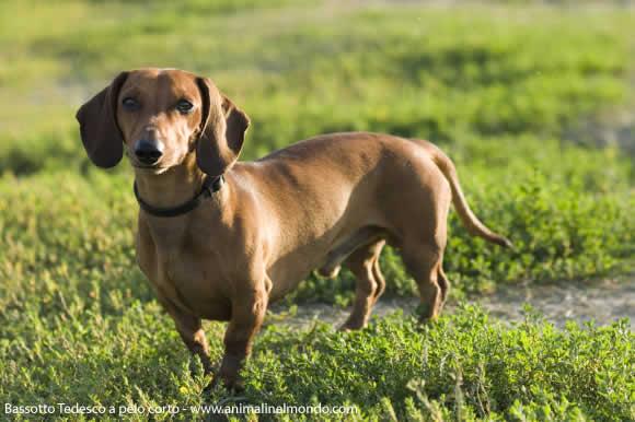 Bassotto tedesco a pelo corto cani allevatori for Bassotto cane