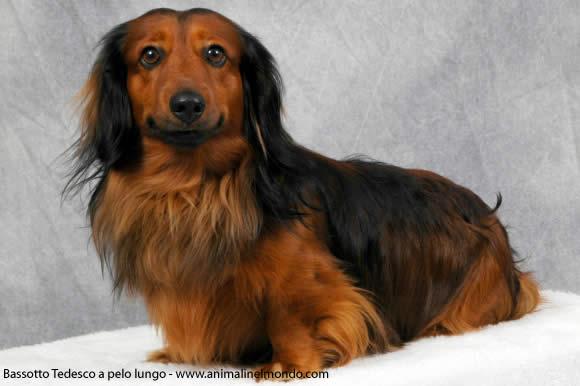 Bassotto tedesco pelo lungo cani allevatori allevamenti for Bassotto cane