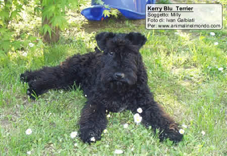 kerry blu terrier