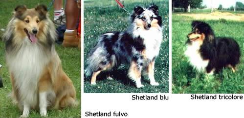 pastore scozzese shetland