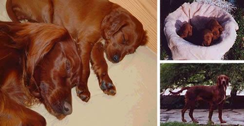Setter irlandese rosso cani allevatori allevamenti for Cane setter