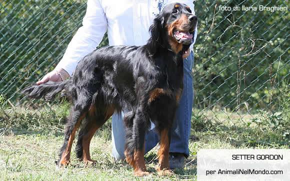 Setter gordon cani allevatori allevamenti annunci for Setter carattere