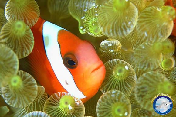Cartolina pesce pagliaccio crea cartolina pesce for Pesce pagliaccio foto