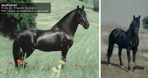 cavallo murgese