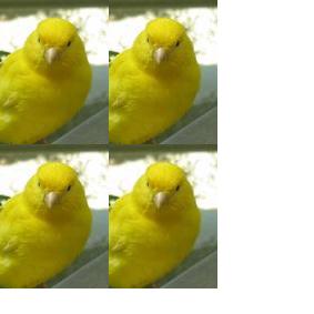 i miei canarini stupendi