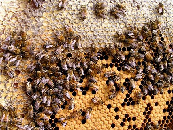 Ape invertebrati animali nel mondo - Diversi tipi di api ...