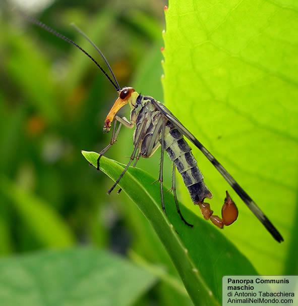 Panorpa communis maschio