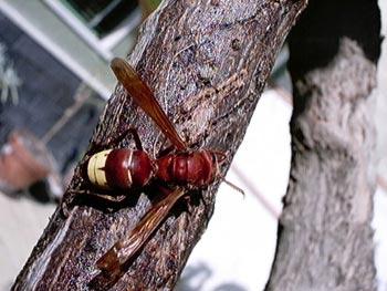 vespa orientale