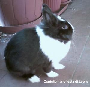 CONIGLIO NANO Coniglio%20nano_02