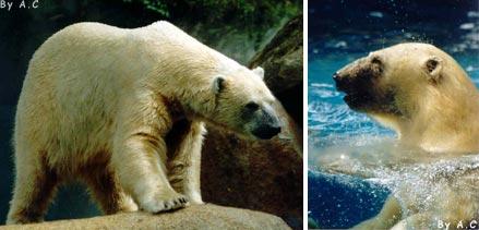 orso bianco o polare