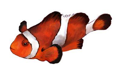 Pagliaccio pesci animali nel mondo for Pesce pagliaccio foto