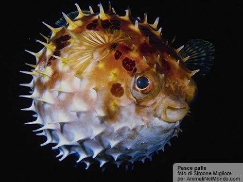 Palla pesci animali nel mondo for Pesce palla immagini