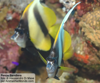 Pesce bandiera, Mar Rosso
