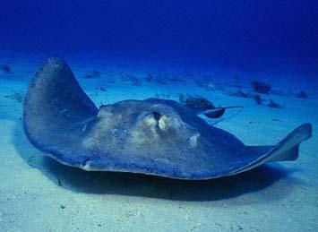Razza pesci animali nel mondo for Pesce rosso razza