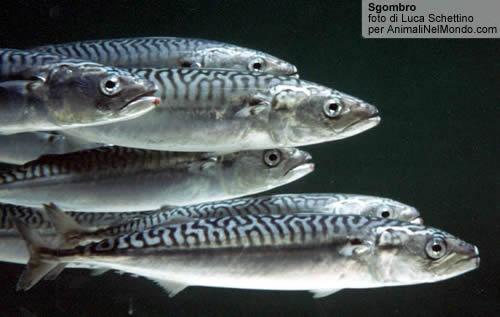 Pesce Scombro