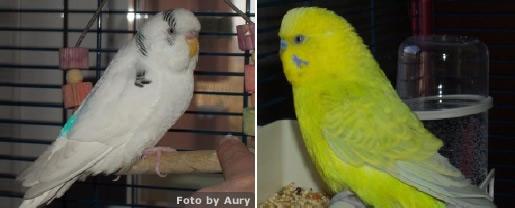 pappagallo ondulato